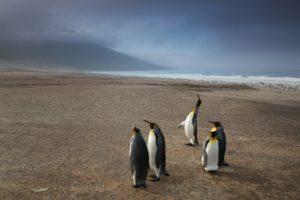 Penguin watching, Falkand Islands
