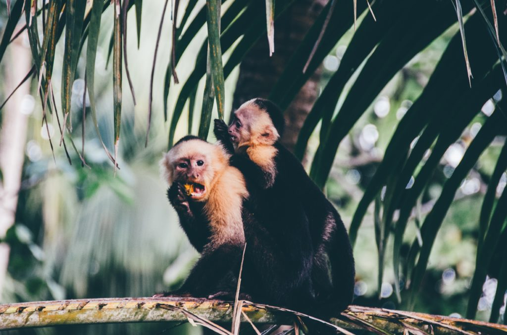 Costa Rica travel: Monkeys in the forest